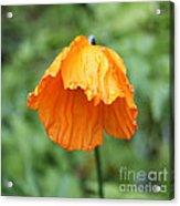 Yellow Poppy - Morning Dew Acrylic Print