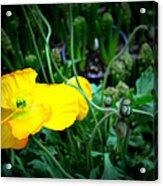 Yellow Poppy Xl Format Floral Photography Acrylic Print