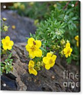 Yellow Potentilla Shrub Acrylic Print