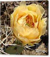 Yellow Prickly Pear Acrylic Print