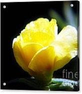 Yellow Primrose Acrylic Print