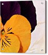 Yellow Purple Pansy Acrylic Print