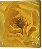 Yellow Ranunculus Acrylic Print