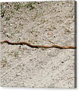 Yellow Rat Snake Acrylic Print