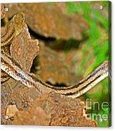 Yellow Rat Snakes Acrylic Print