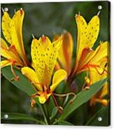 Yellow Red Flower Acrylic Print