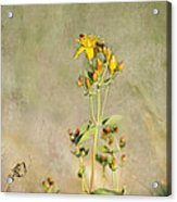 Yellow-red Wildflower With Texture Acrylic Print