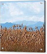 Yellow Reeds And Blue Mountains Acrylic Print