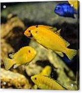 Yellow Reef Fish Acrylic Print