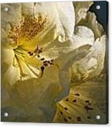 Yellow Rhododendron Acrylic Print