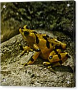Yellow Rock Jumper Acrylic Print