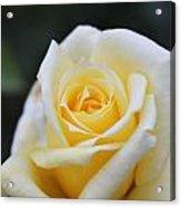 Yellow Rose - 1 Acrylic Print