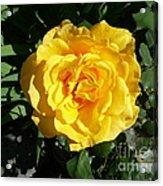 Yellow Rose #1 Acrylic Print