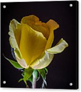 Yellow Rose 1 Acrylic Print