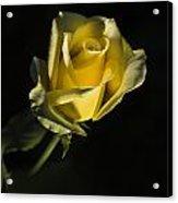 Yellow Rose 11 Acrylic Print