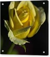Yellow Rose 12 Acrylic Print