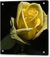 Yellow Rose 14 Acrylic Print