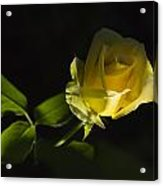 Yellow Rose 15 Acrylic Print