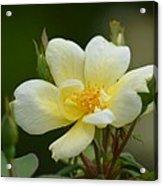Yellow Rose 2013a Acrylic Print