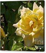 Yellow Rose And Bud Acrylic Print