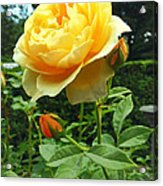 Yellow Rose And Buds Acrylic Print