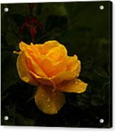 Yellow Rose Dapples With Waterdfrops Acrylic Print