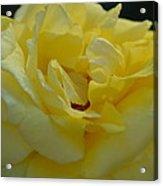 Yellow Rose Frills Acrylic Print