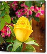 Yellow Rose In Bloom Acrylic Print
