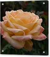 Yellow Rose Kissed By Pink Fairy Acrylic Print