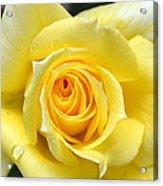 Yellow Rose L Acrylic Print