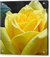 Yellow Rose Ll Acrylic Print