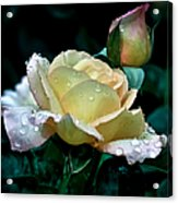 Yellow Rose Morning Dew Acrylic Print