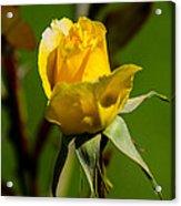 Yellow Rose Acrylic Print