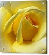 Yellow Rose Softness Acrylic Print