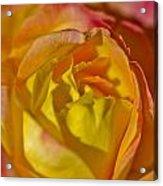 Yellow Rose Up Close Acrylic Print