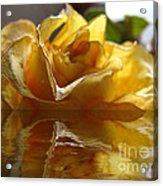 Yellow Rose Wet And Dry Acrylic Print