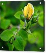 Yellow Rosebud Acrylic Print