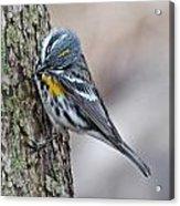 Yellow-rump Warbler Acrylic Print