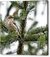 Yellow Rumped Evergreen Acrylic Print