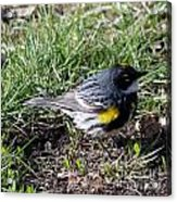 Yellow-rumped Warbler   Acrylic Print