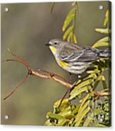 Yellow Rumped Warbler Acrylic Print
