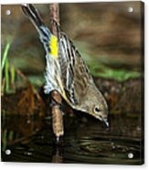 Yellow-rumped Warbler Drinking Acrylic Print