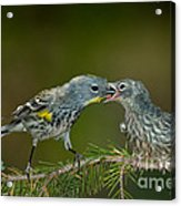 Yellow-rumped Warbler Feeding Young Acrylic Print