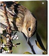 Yellow-rumped Warbler - Precious Acrylic Print