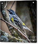 Yellow Rumped Warbler Acrylic Print