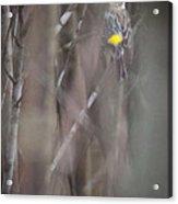Yellow-rumpled Warbler Acrylic Print