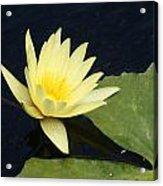 Yellow Saturating... Acrylic Print