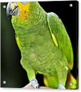 Yellow-shouldered Amazon Parrot Acrylic Print