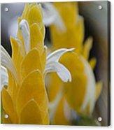 Yellow Shrimp Swirl Acrylic Print