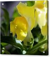 Yellow Snapdragons I Acrylic Print by Aya Murrells